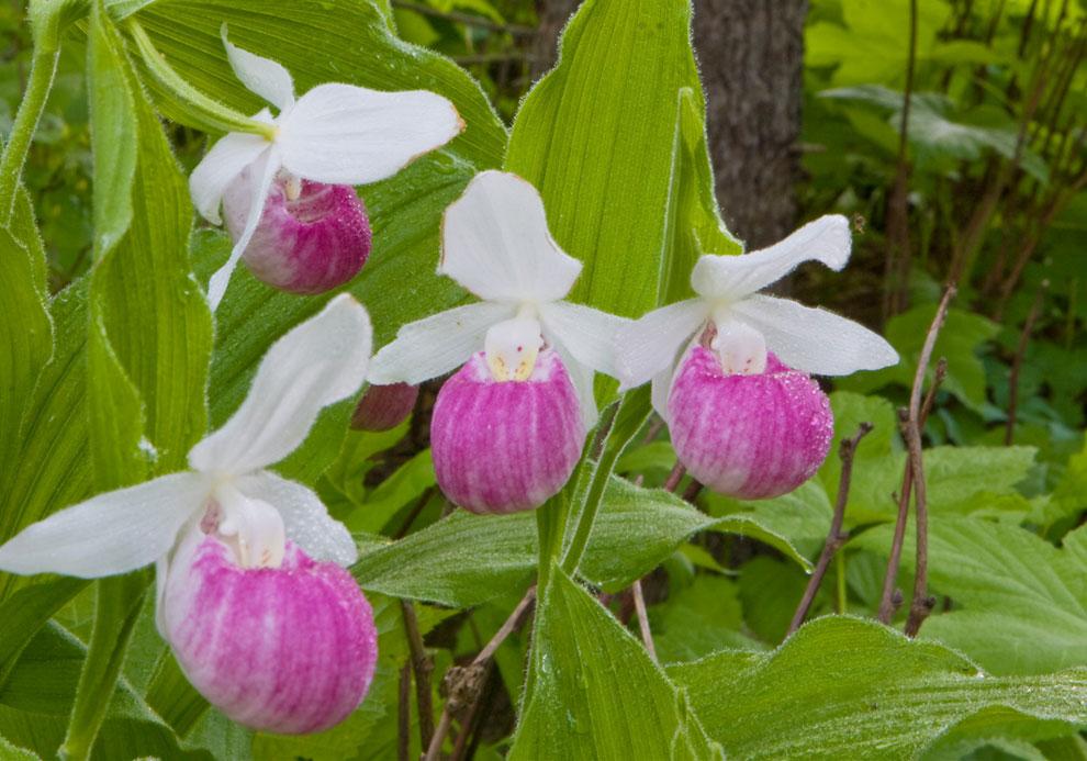 Minnesota secretary of state state flower pink ladys slipper state flower pink ladys slipper mightylinksfo