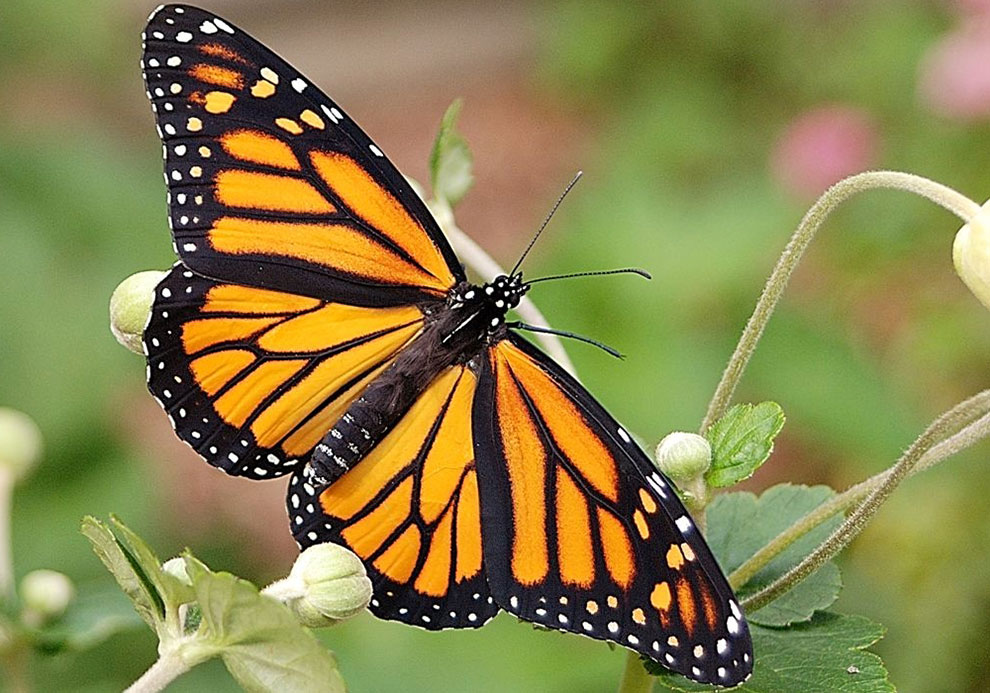 Minnesota Secretary Of State State Butterfly Monarch