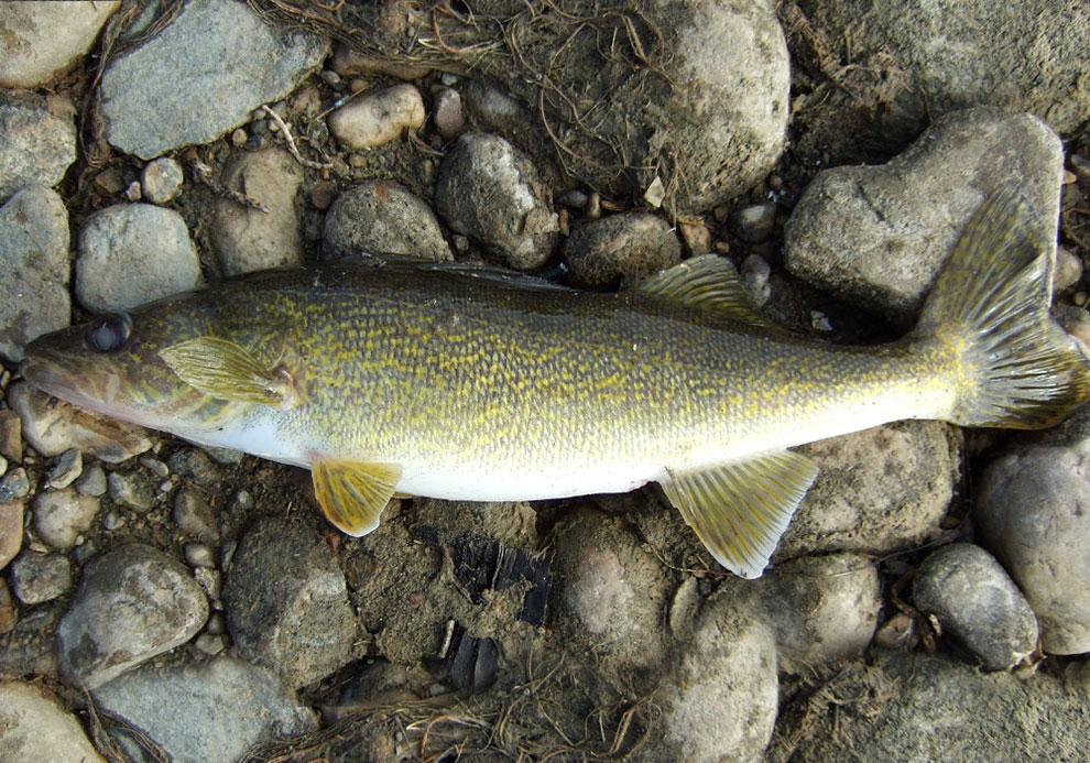 Minnesota secretary of state state fish walleye for Walleye fishing minnesota